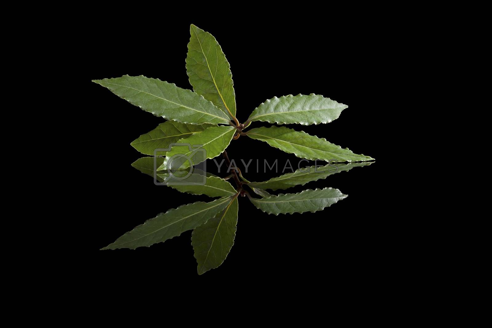 Fresh bay leaves isolated on black background. Culinary herb, cooking ingredient and medical herb.