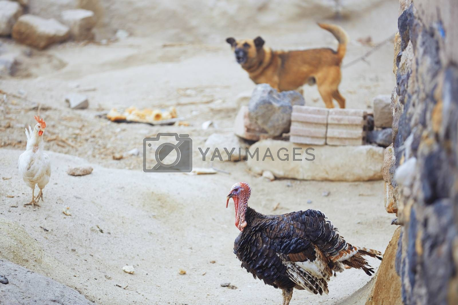 Barnyard in Turkish village with hen dog and turkey cock