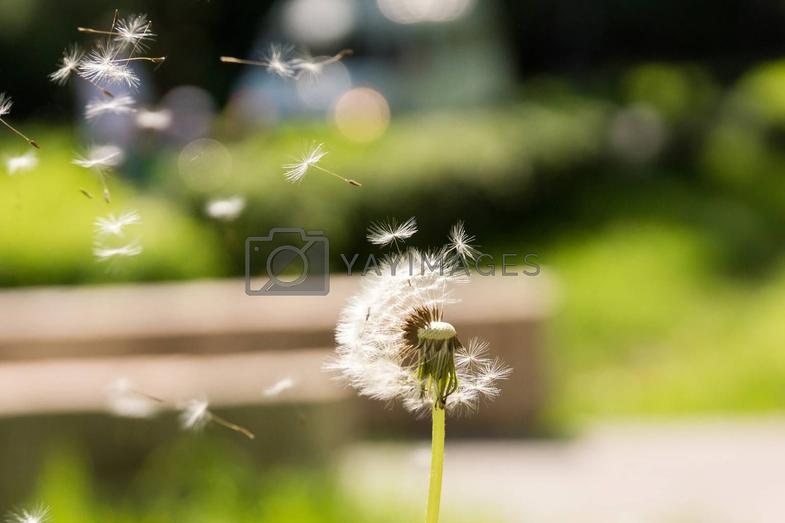 The photo depicts the dandelion fly away in the wind