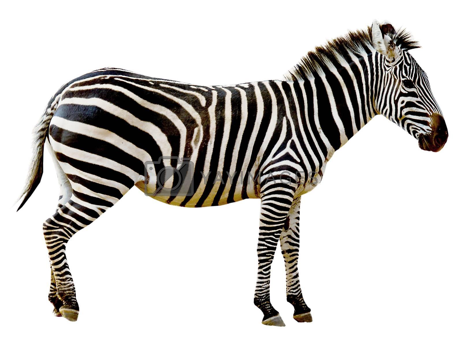 Wild zebra isolated on white background