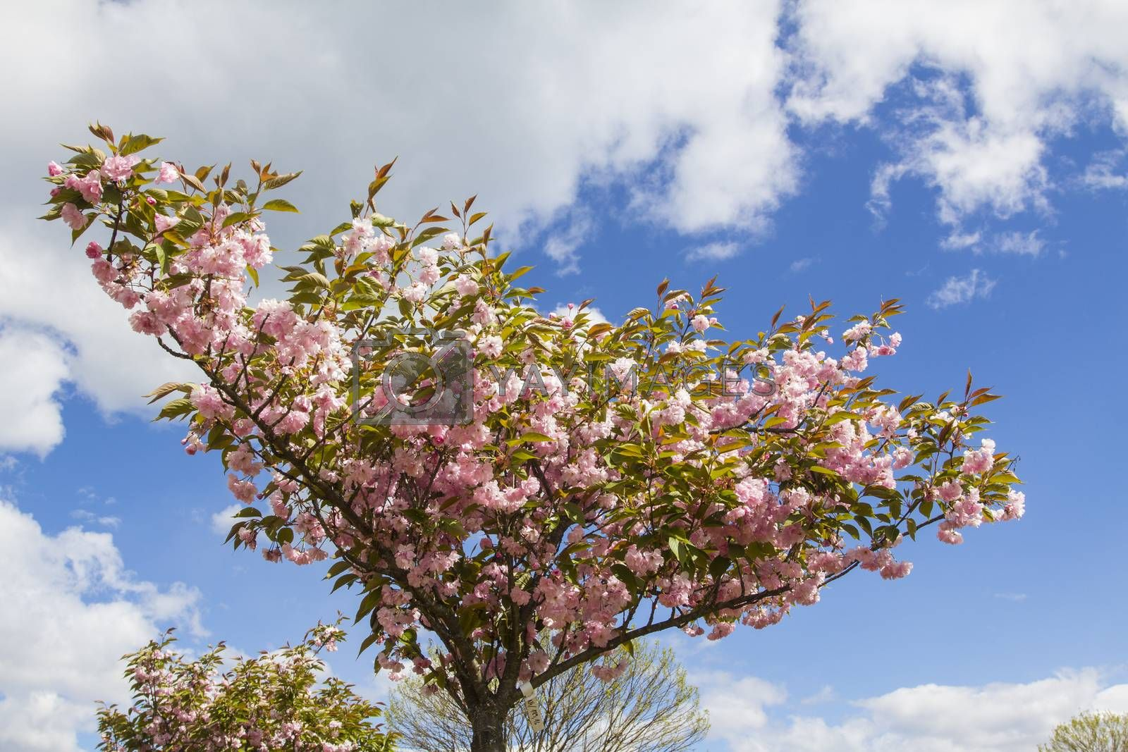 Cherry tree blooming on a sunny spring day