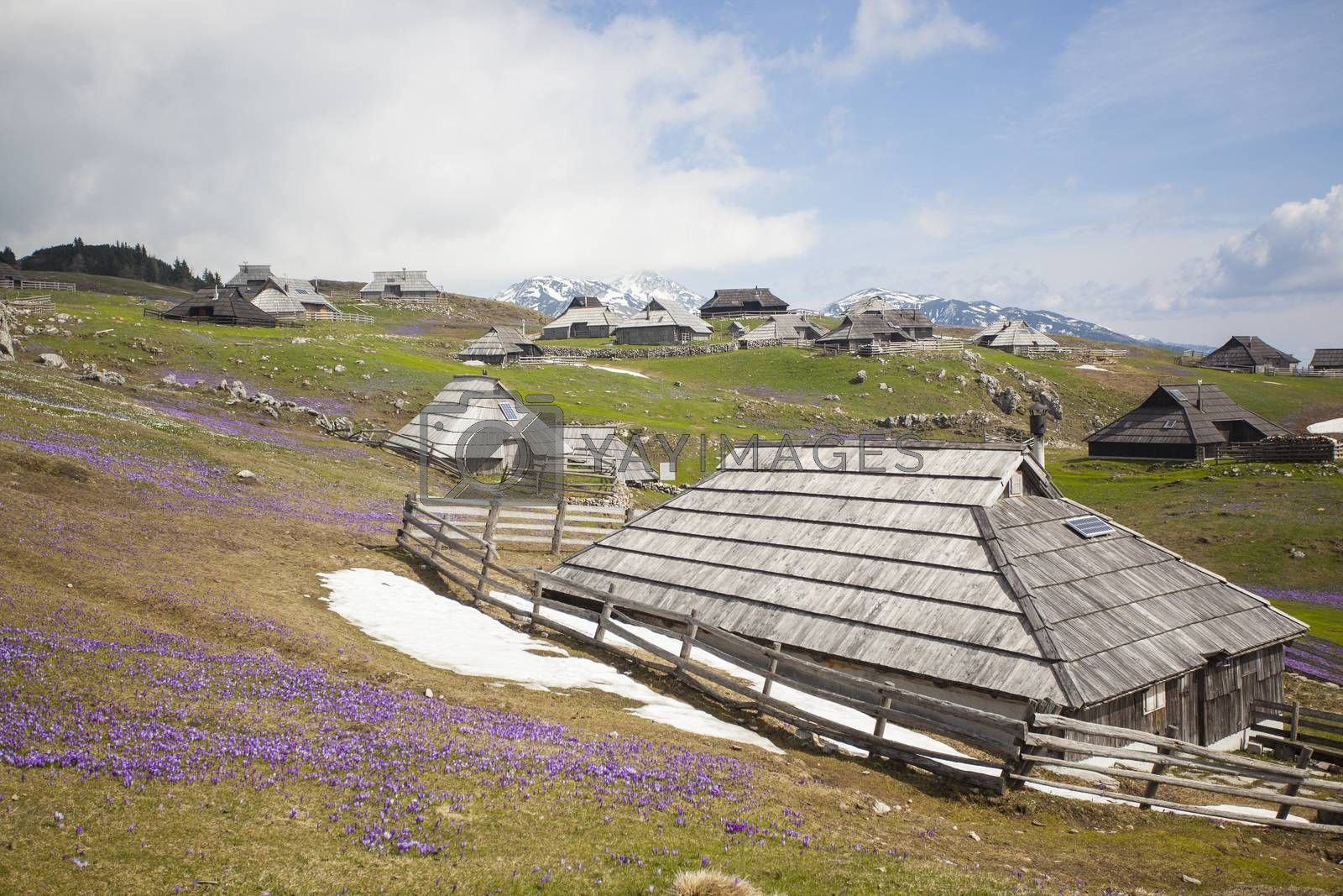 Spring crocuses on Velika Planina plateau in Slovenia. With cottage in the background.