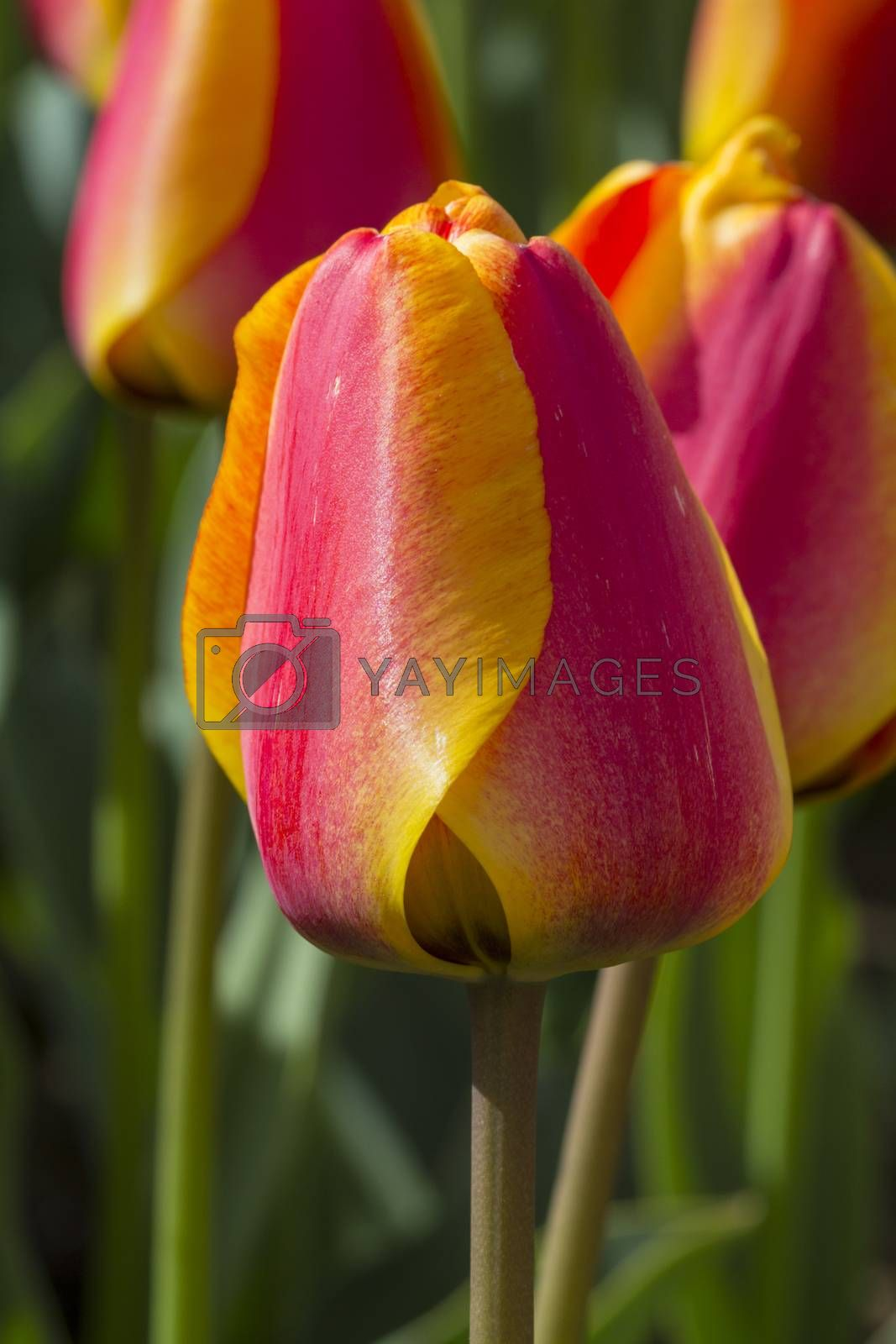 Beautiful tulips in a park on a sunny spring day.