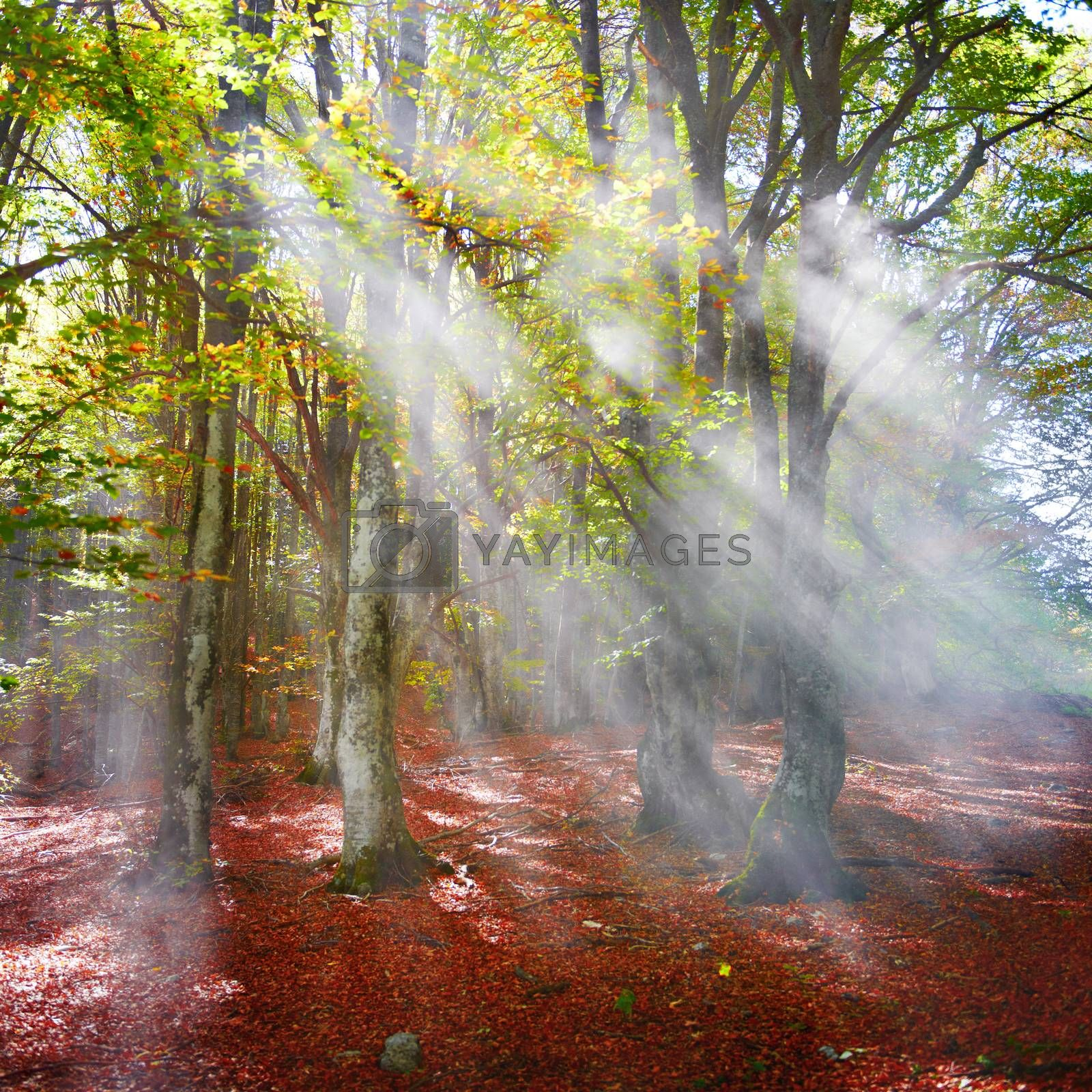Autumn forest by vapi