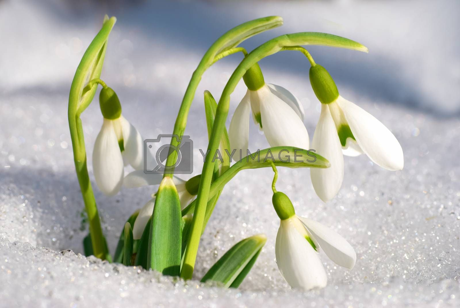 Spring snowdrop flowers  by vapi