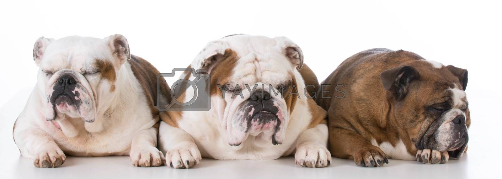 three english bulldogs sleeping on white background