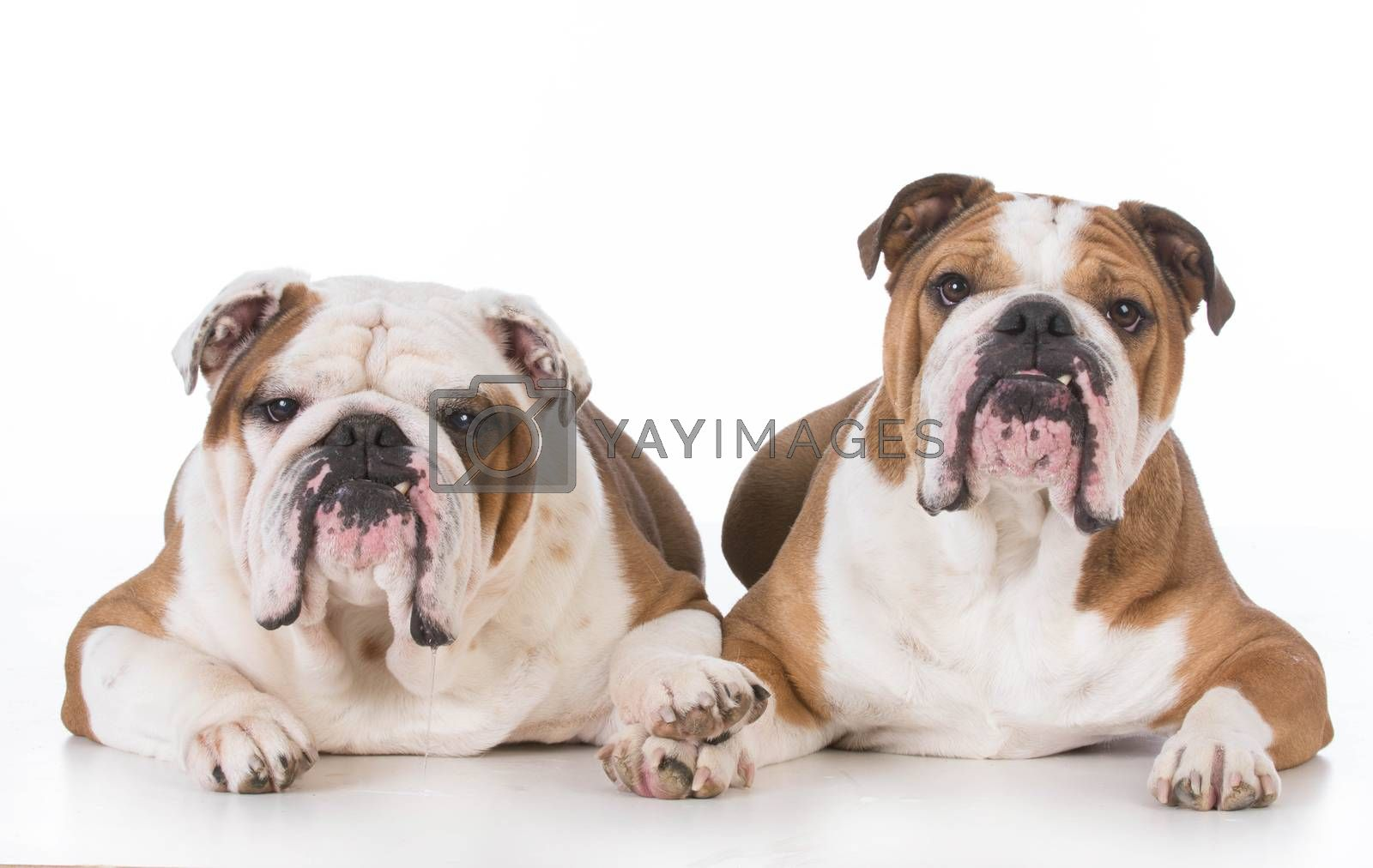 two bulldogs laying down on white background