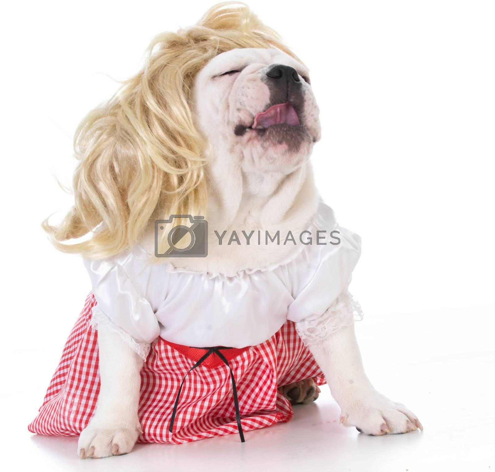female english bulldog laughing on white background