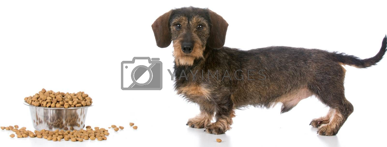 miniature wirehaired dachshund standing by a bowl of kibble on white background