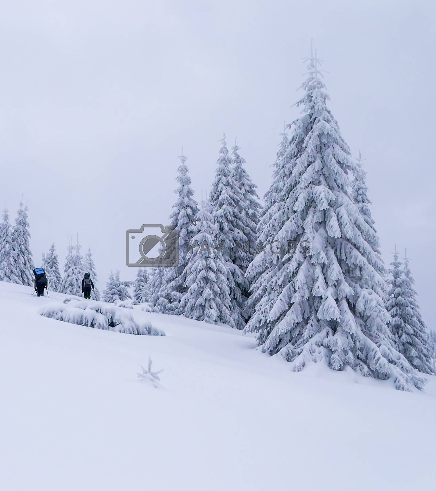 Two tourists hikes on snow. Bad weather. Large snow covered spruce trees near them. Winter