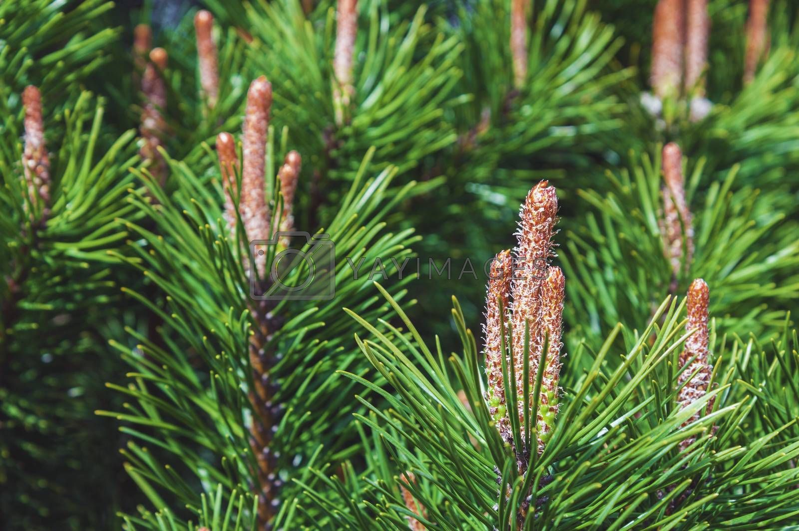 Green pine tree background with fresh buds at spring