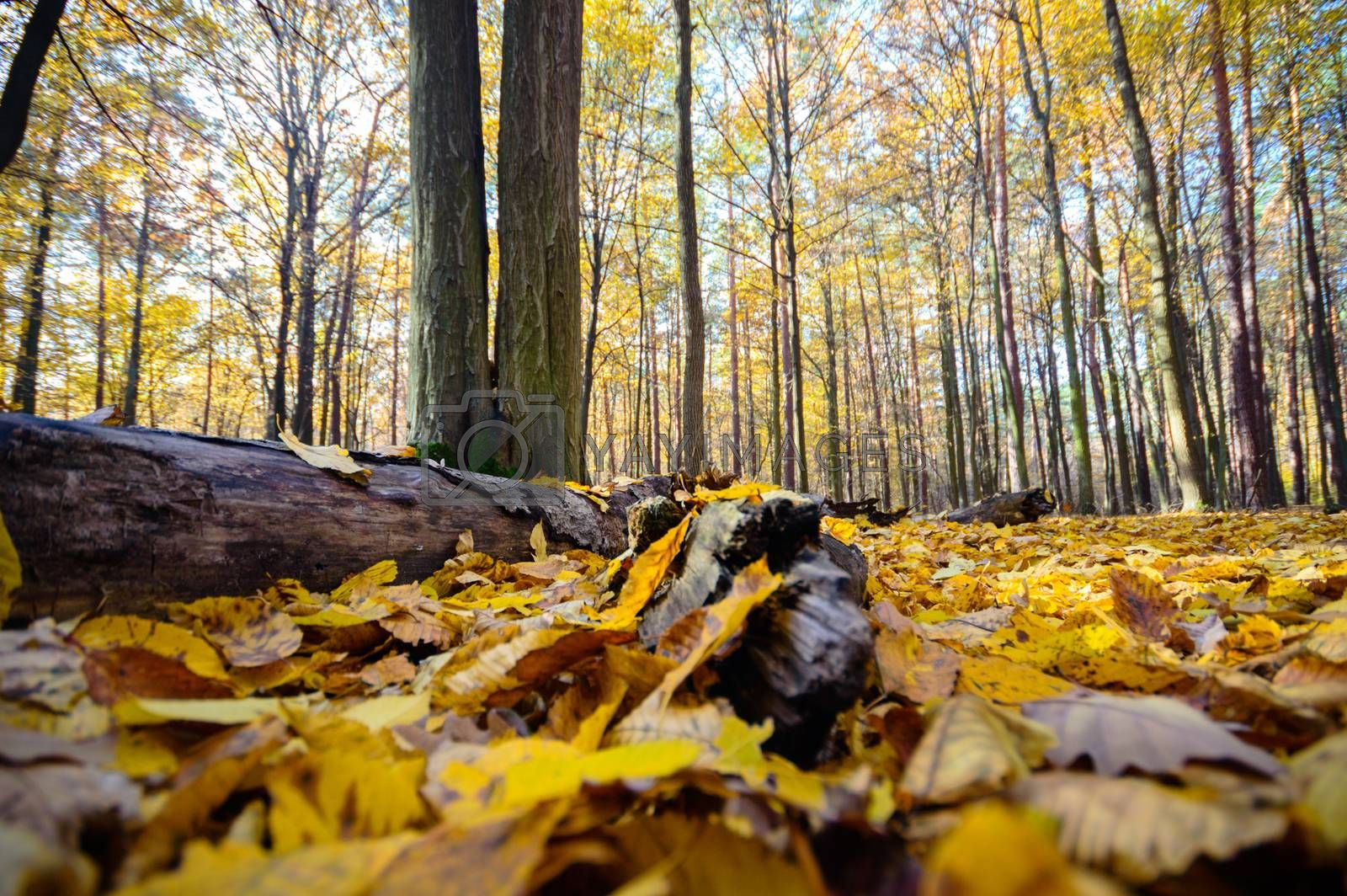 sunlight in the autumn forest, nature series
