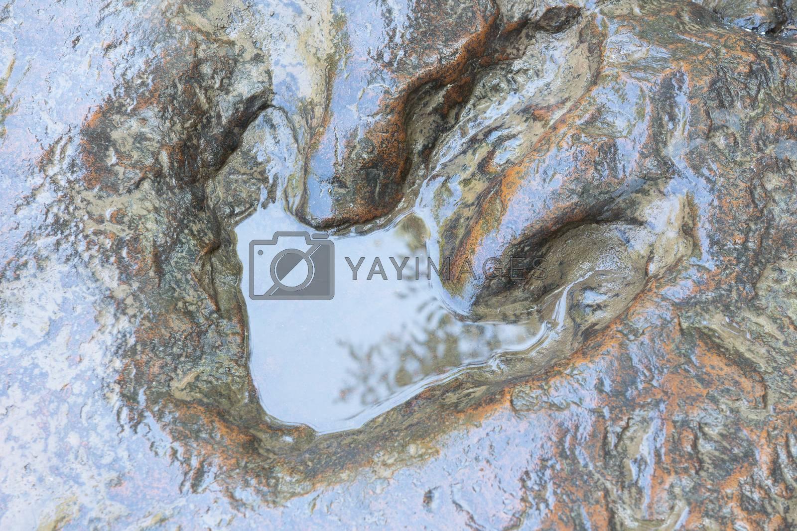 Detail of dinosaur tracks in thailand (dinosaur, footprints, footprint)