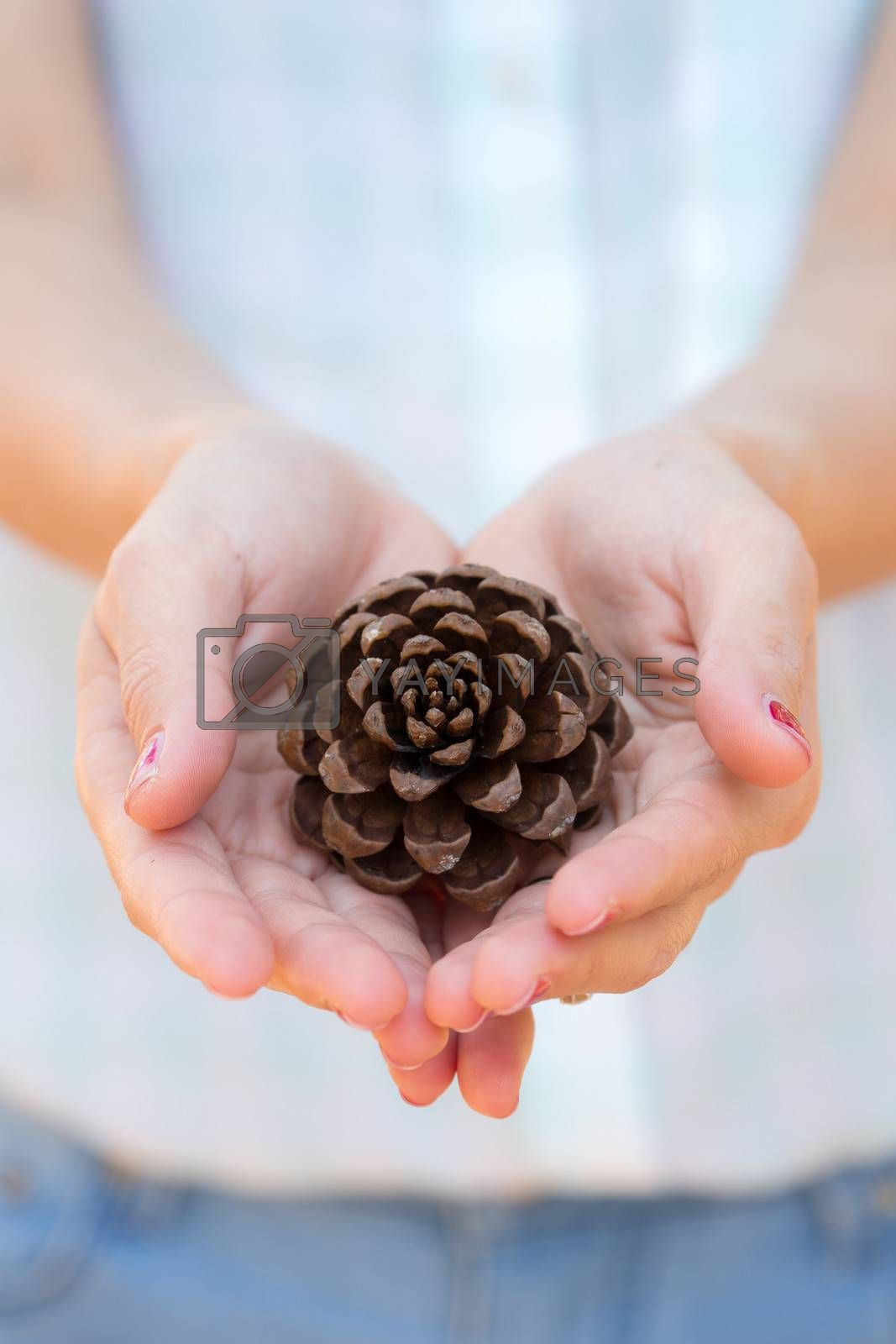 Concept of conservation by beautiful hands holding the big pine seed