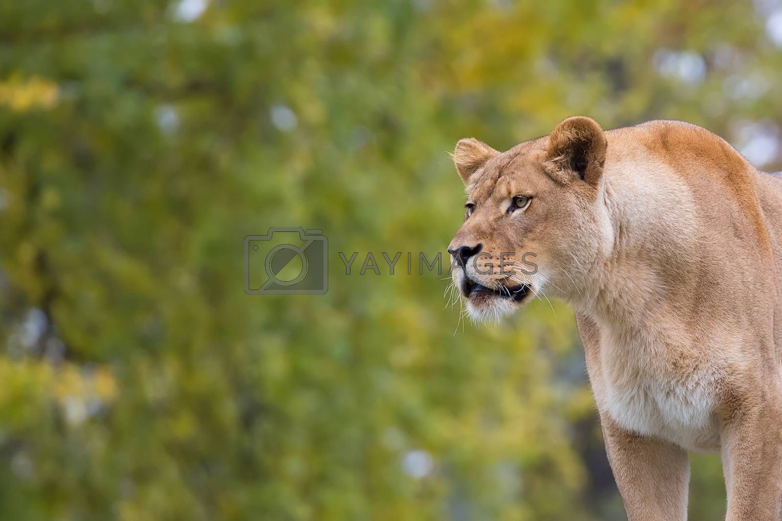 Lioness in the wild, a portrait in a clearing