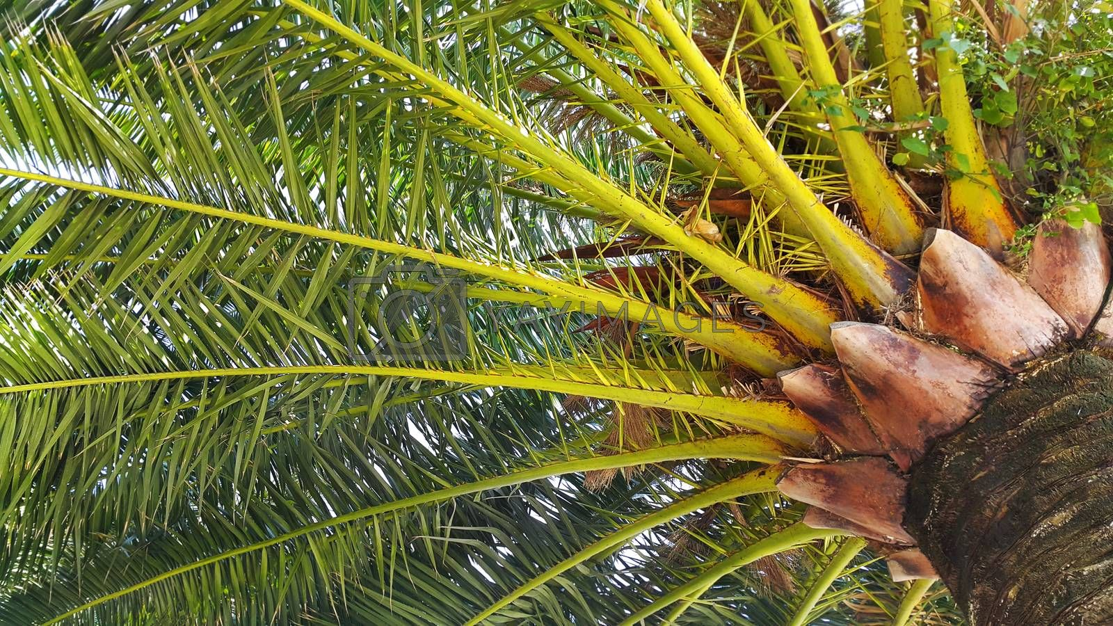 Branches and trunk of big tropical palm tree
