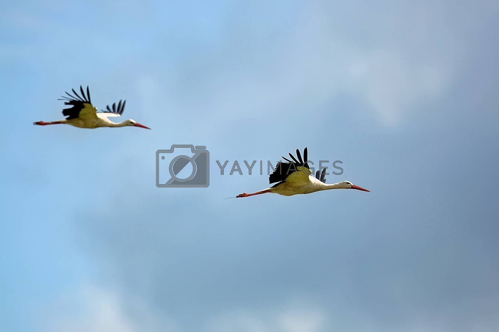 White storks in the flight in the wild