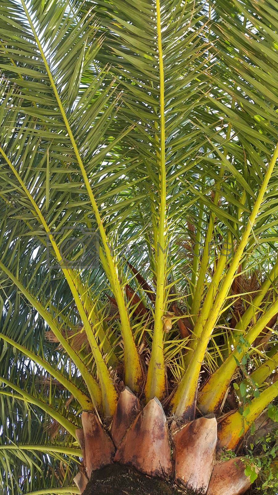 Branches of big tropical palm tree