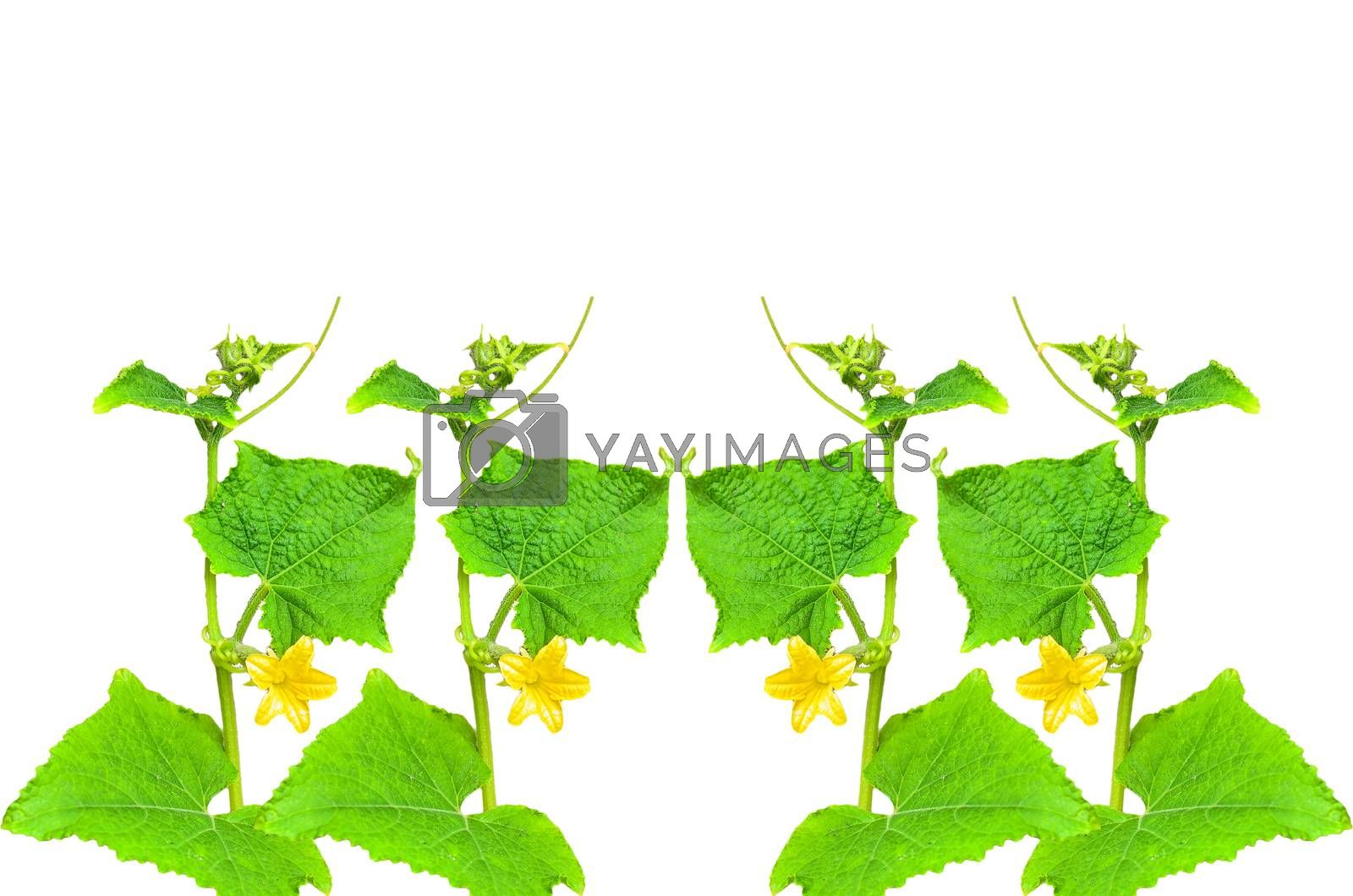Royalty free image of Pumpkin plant by raweenuttapong