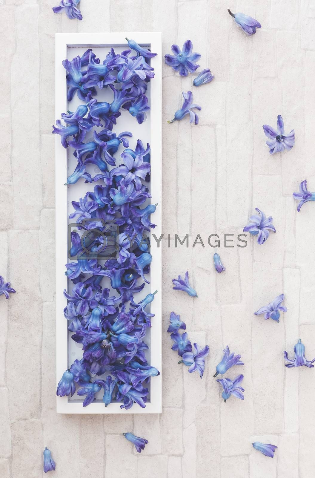Blue hyacinths flowers arrangement on a tray. Overhead view with blank space