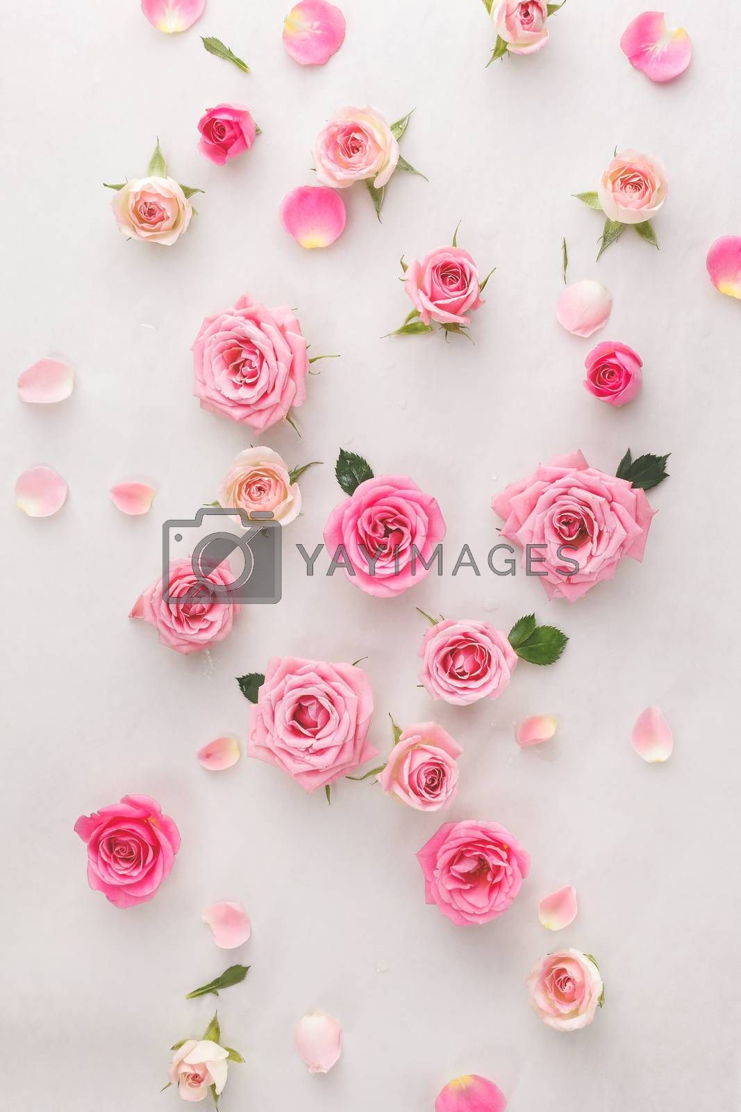 Roses and petals scattered on white background, overhead view