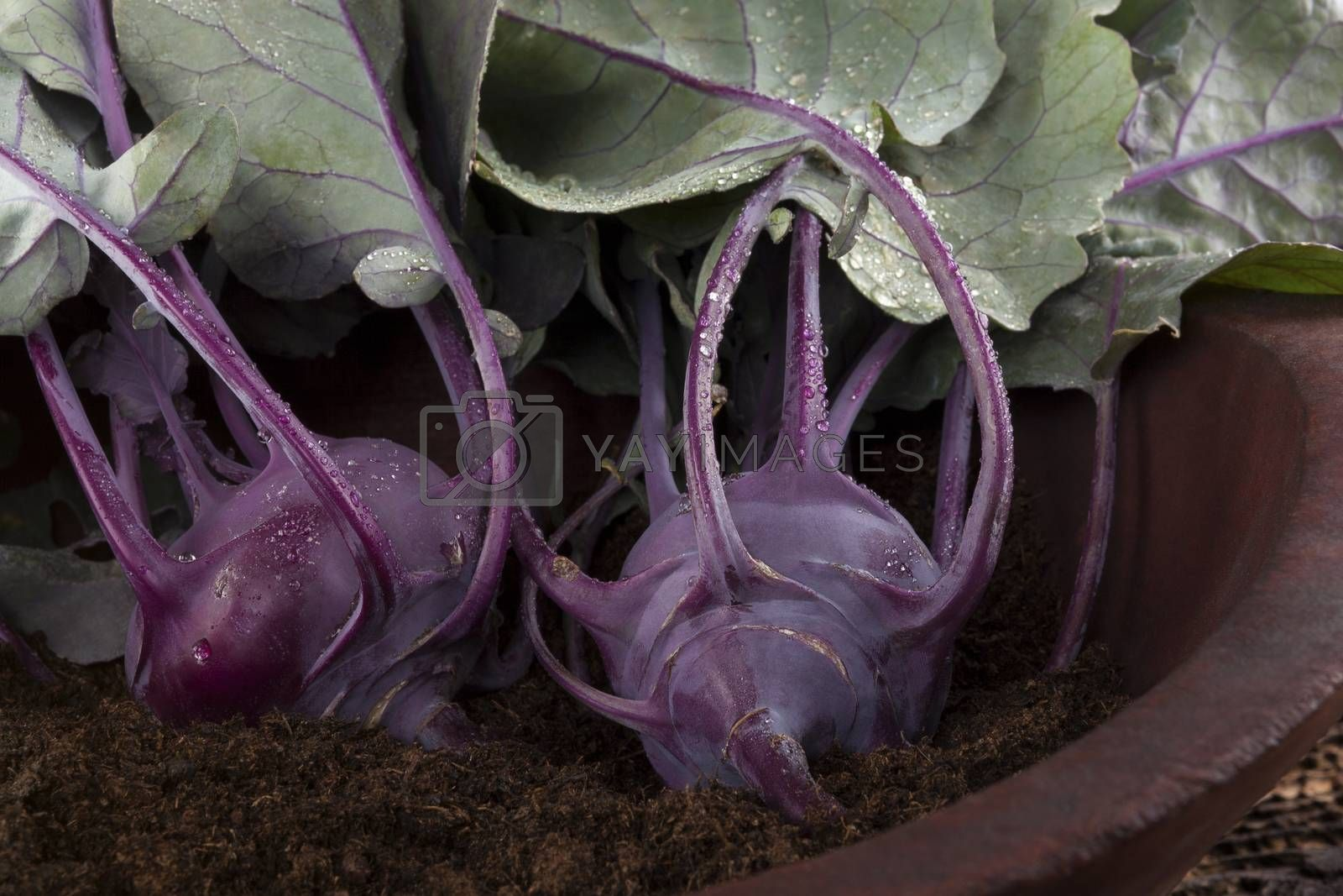 Ripe fresh kohlrabi in wooden bowl with soil. Fresh country style harvest.