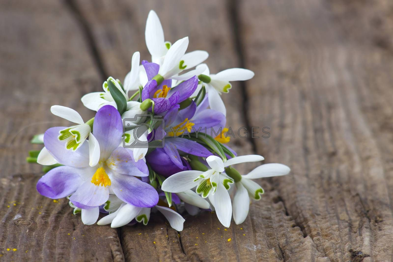 Bunch of crocus and snowdrops on the wooden table.