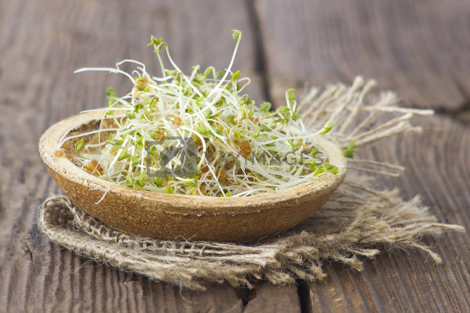 garden cress sprouts