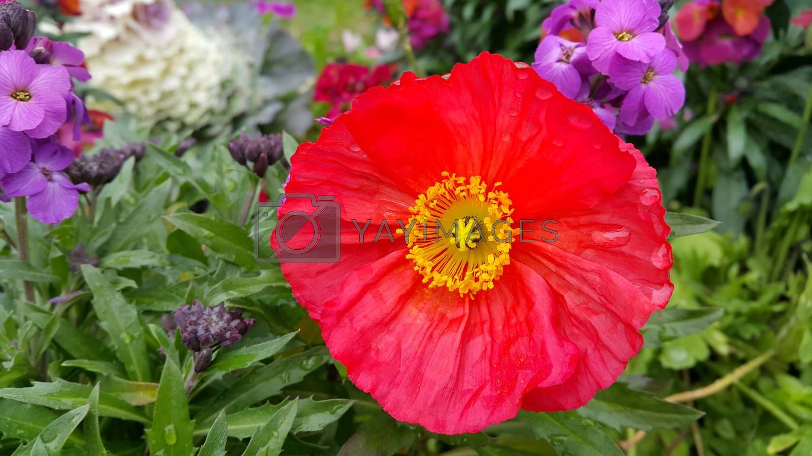 Beautiful poppy among other flowers