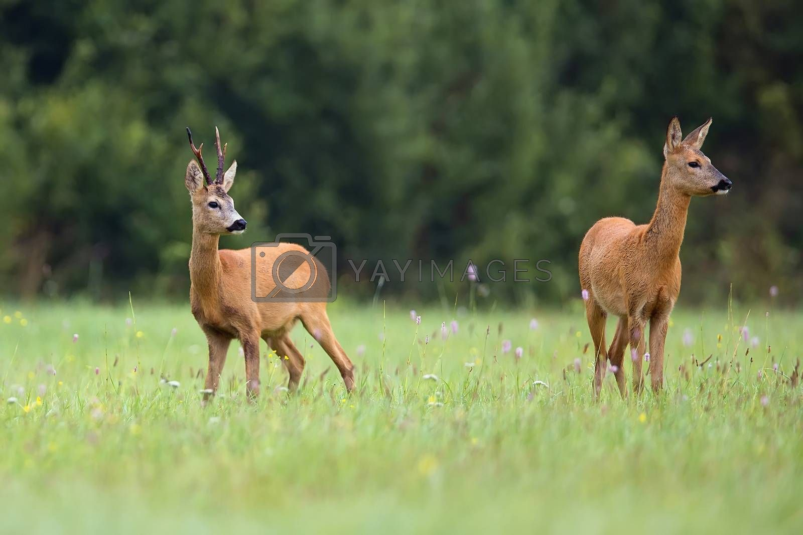 Buck deer with roe-deer in the wild in the forest
