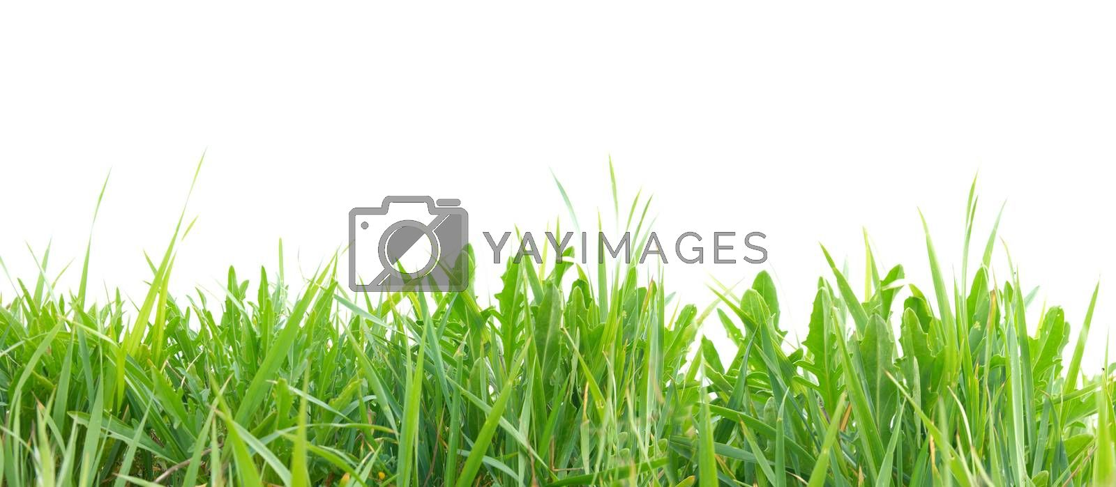 Green grass isolated on the white background