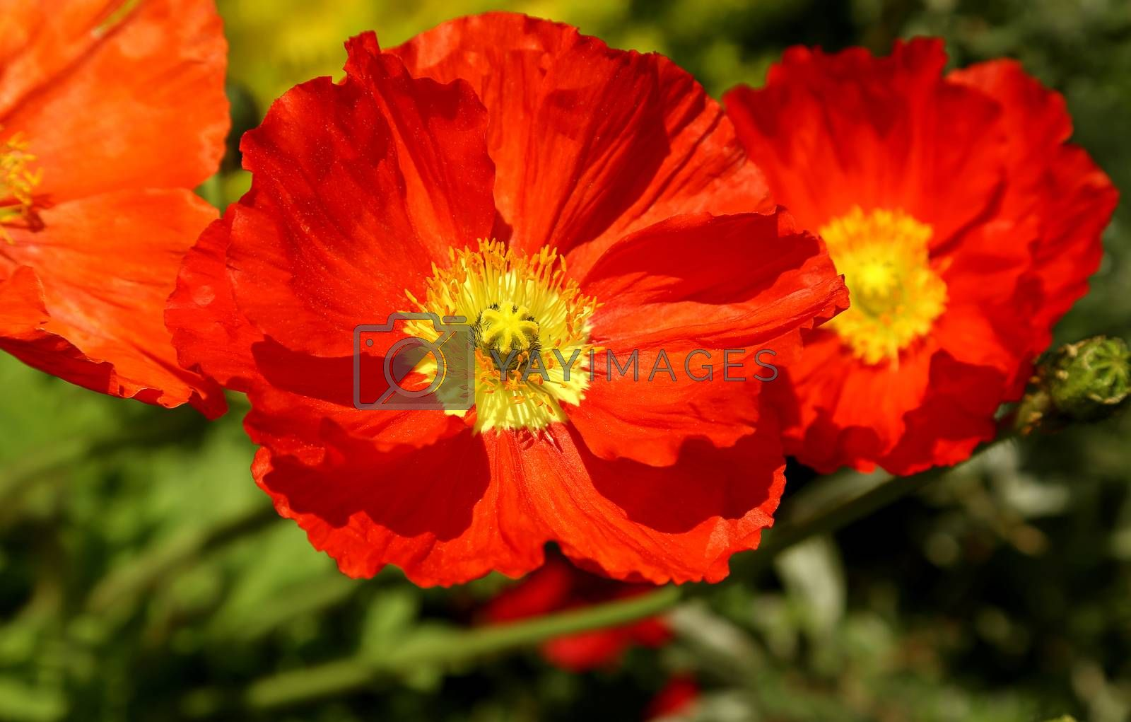 Closeup of beautiful red blooming poppies