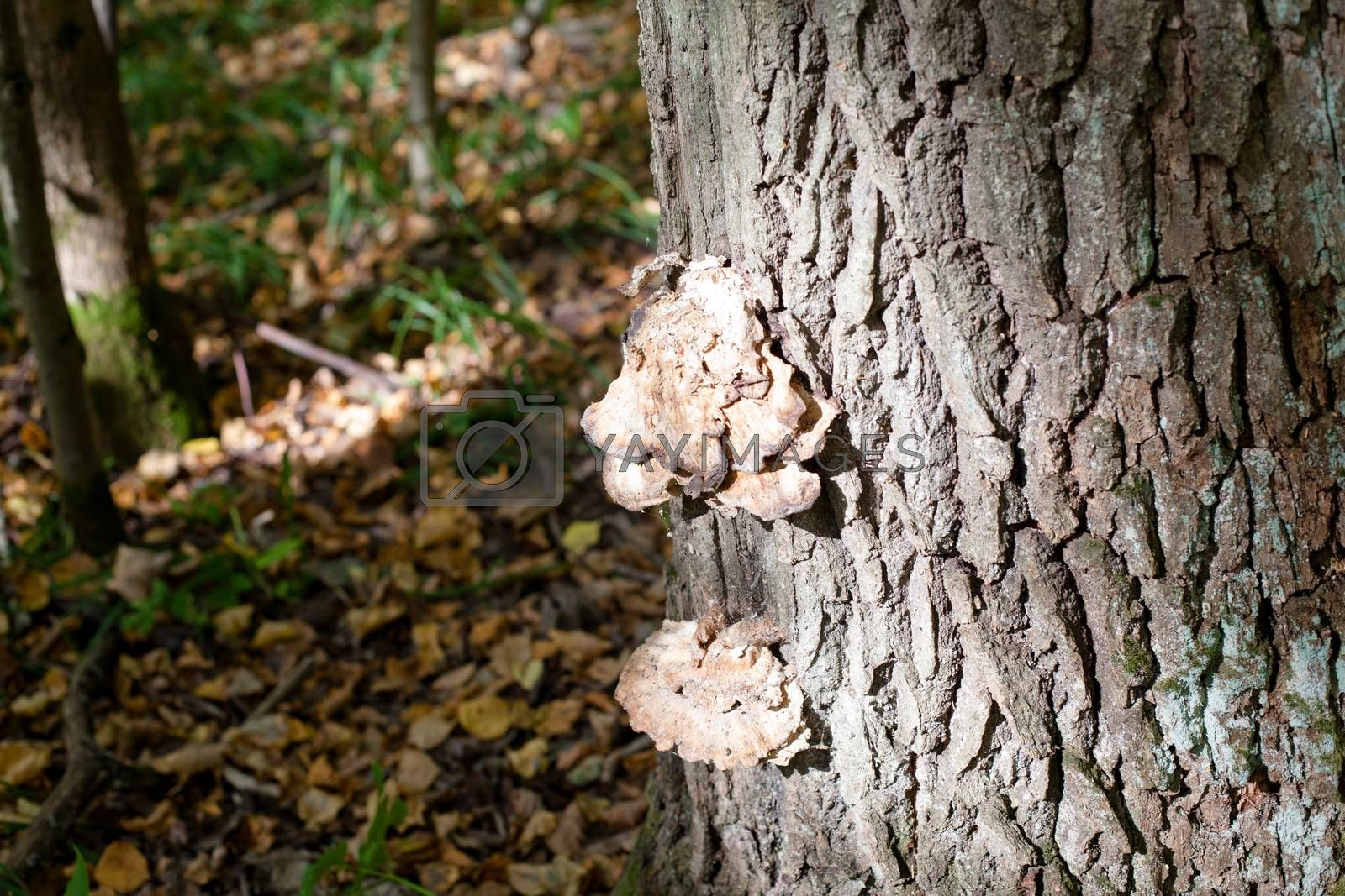 Brown mushroom on a tree trunk in a autumn forest