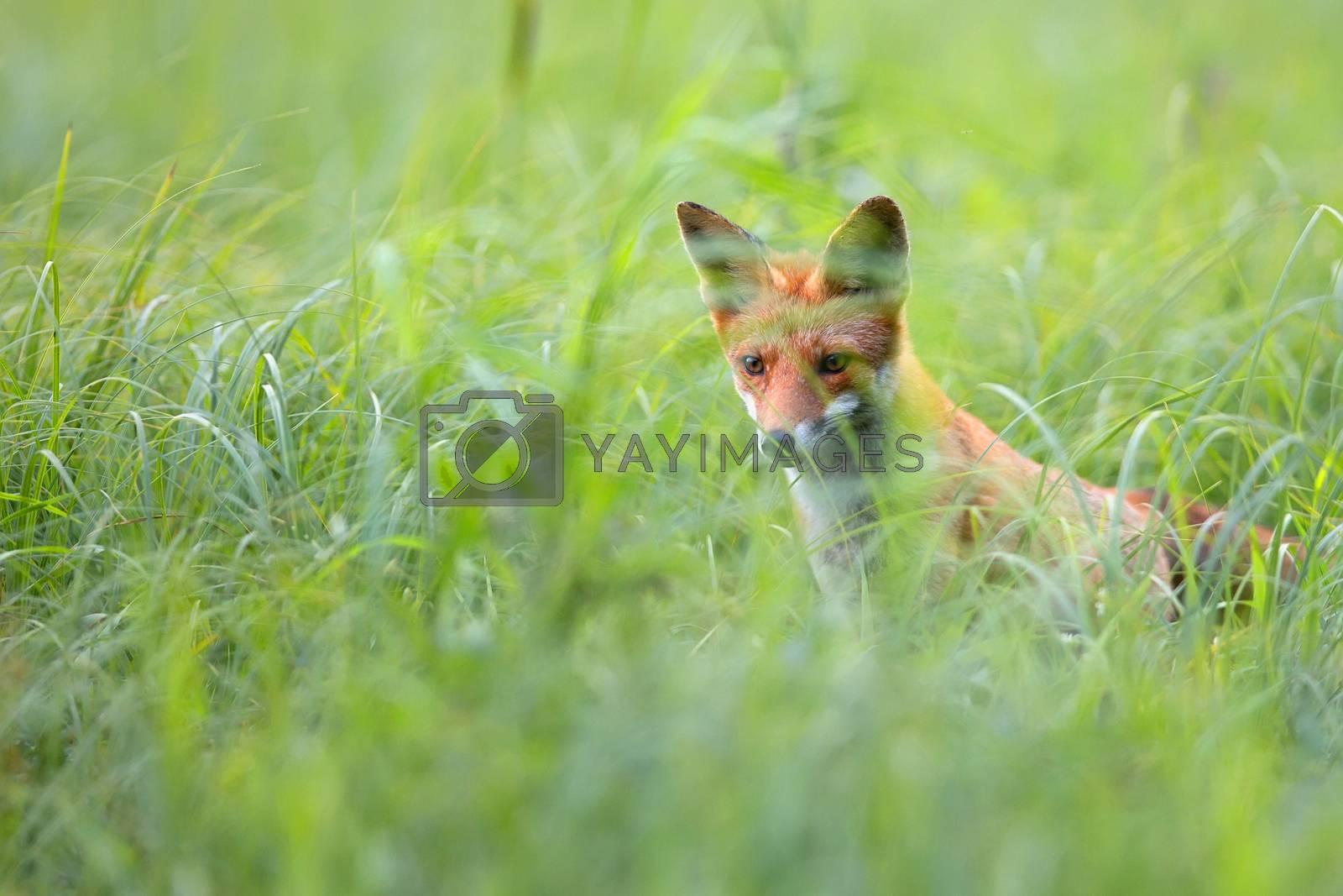 Fox in the grass in the wild