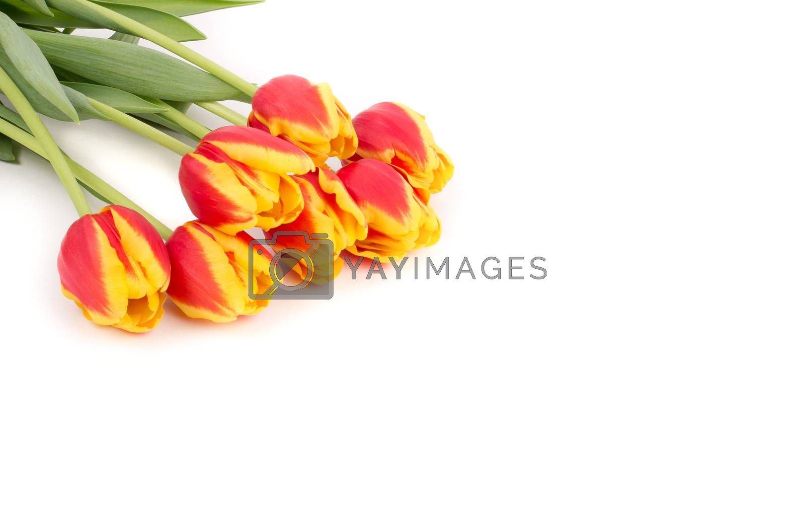 Yellow and red tulips on a white background