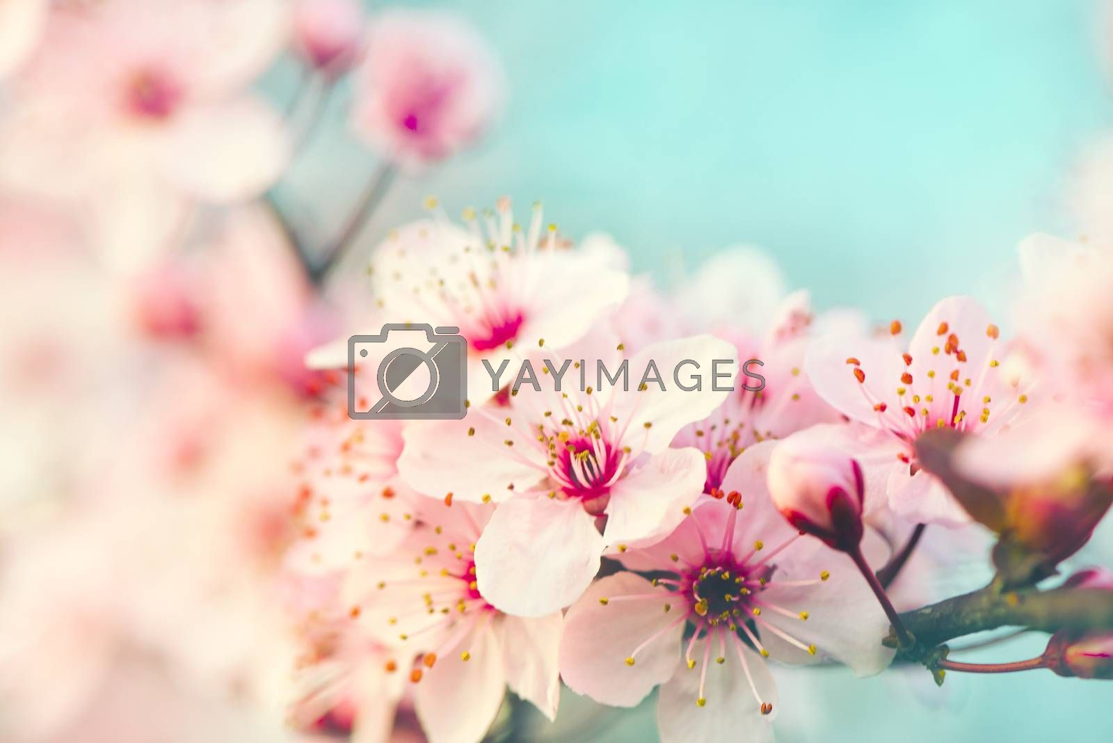 Pink flowers tree blossoming in spring, selective soft focus, shallow depth of field