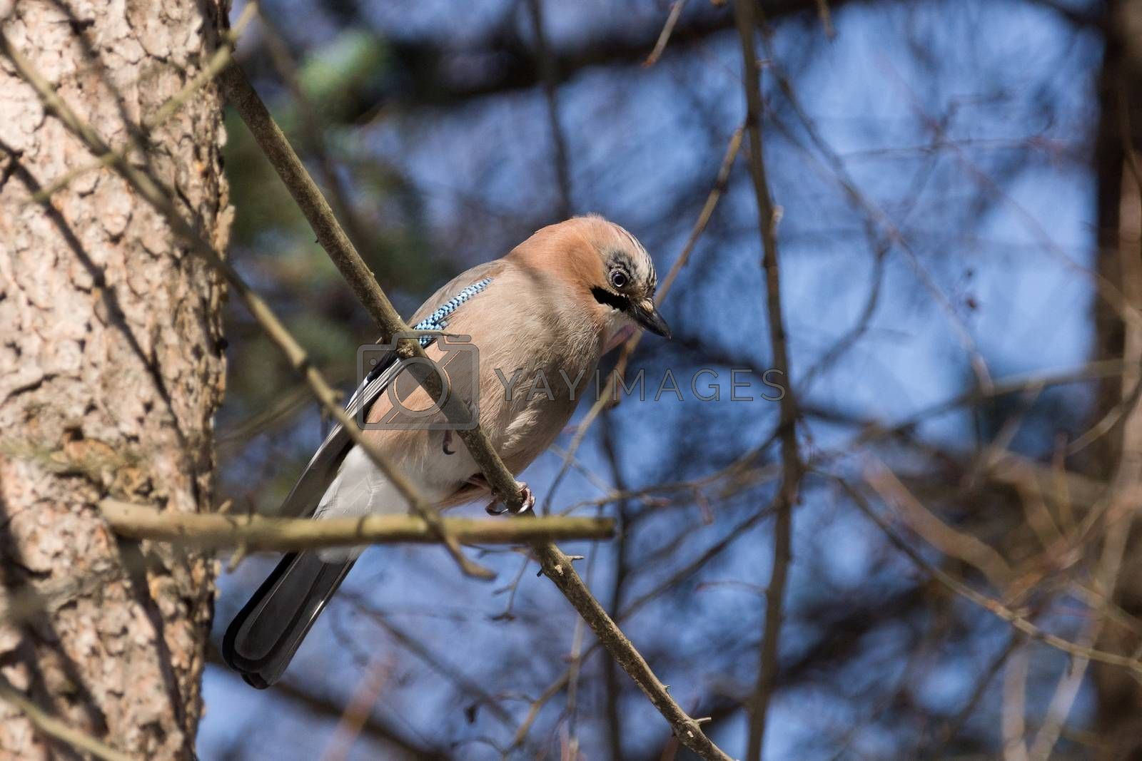 Royalty free image of jay on a branch by AlexBush