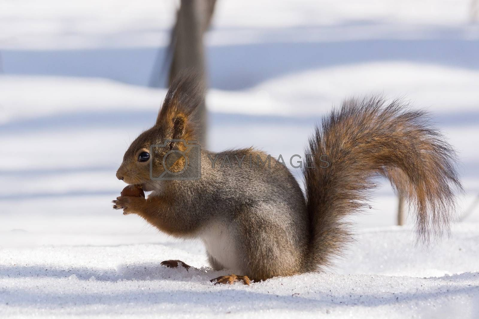 Royalty free image of squirrel on a tree by AlexBush