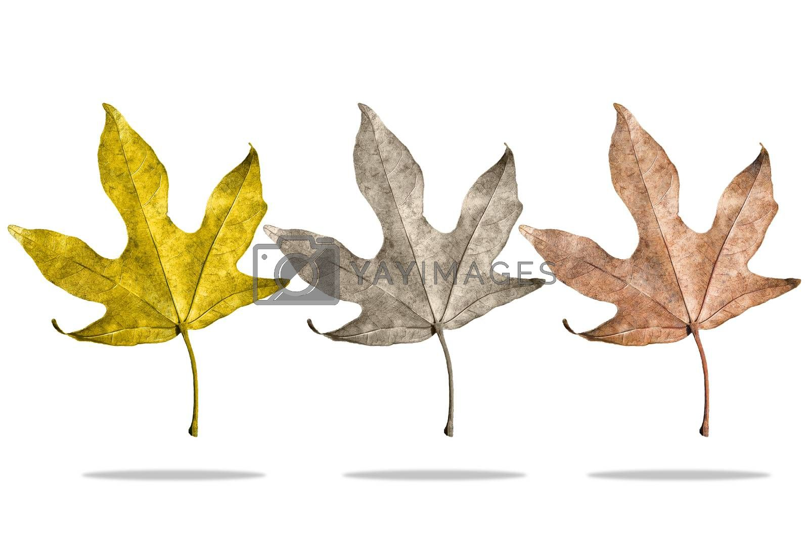 Three kind of seasonal leaves on isolated white background