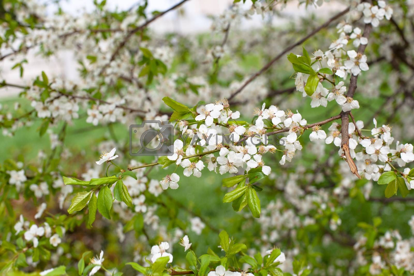 Small white apple flowers burgeons and flowers on a branch
