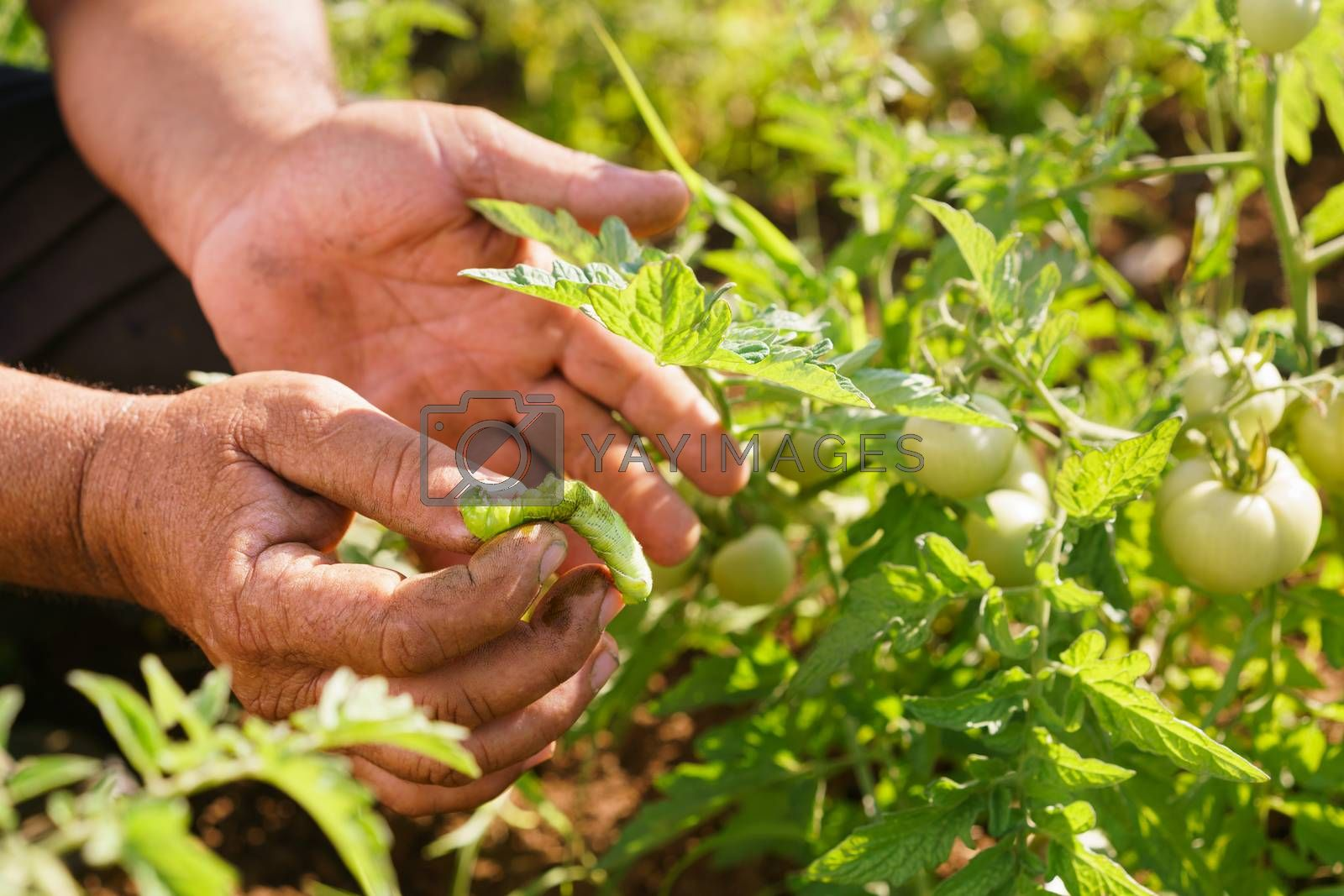 Farming and cultivations in Latin America. Middle aged hispanic farmer in a tomato field, showing a bug that affects the plant to the camera. Closeup of hands