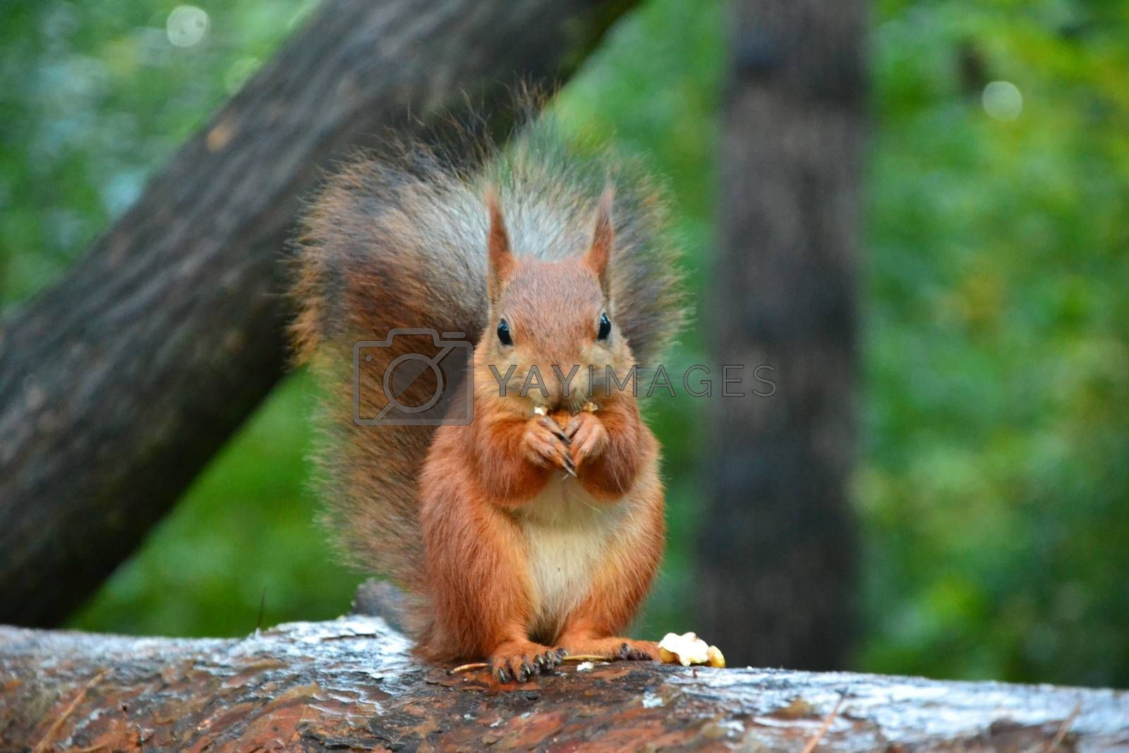 Red squirrel in the woods near a tree day