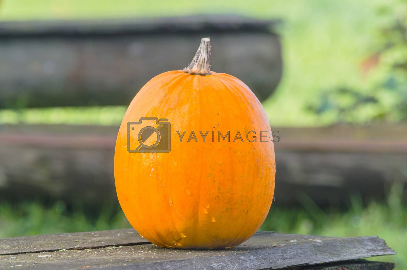 Royalty free image of Beautiful orange pumpkin      by JFsPic