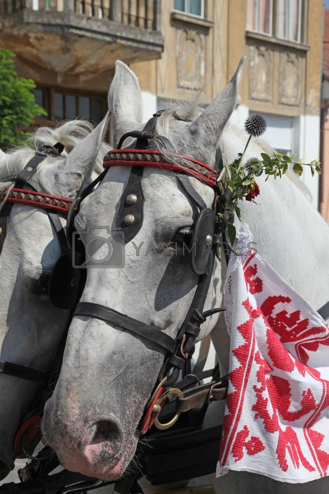 Horse and wedding wagon show during Dakovo vezovi (Dakovo Summer Festival) on July 05, 2009 in Dakovo, Croatia.