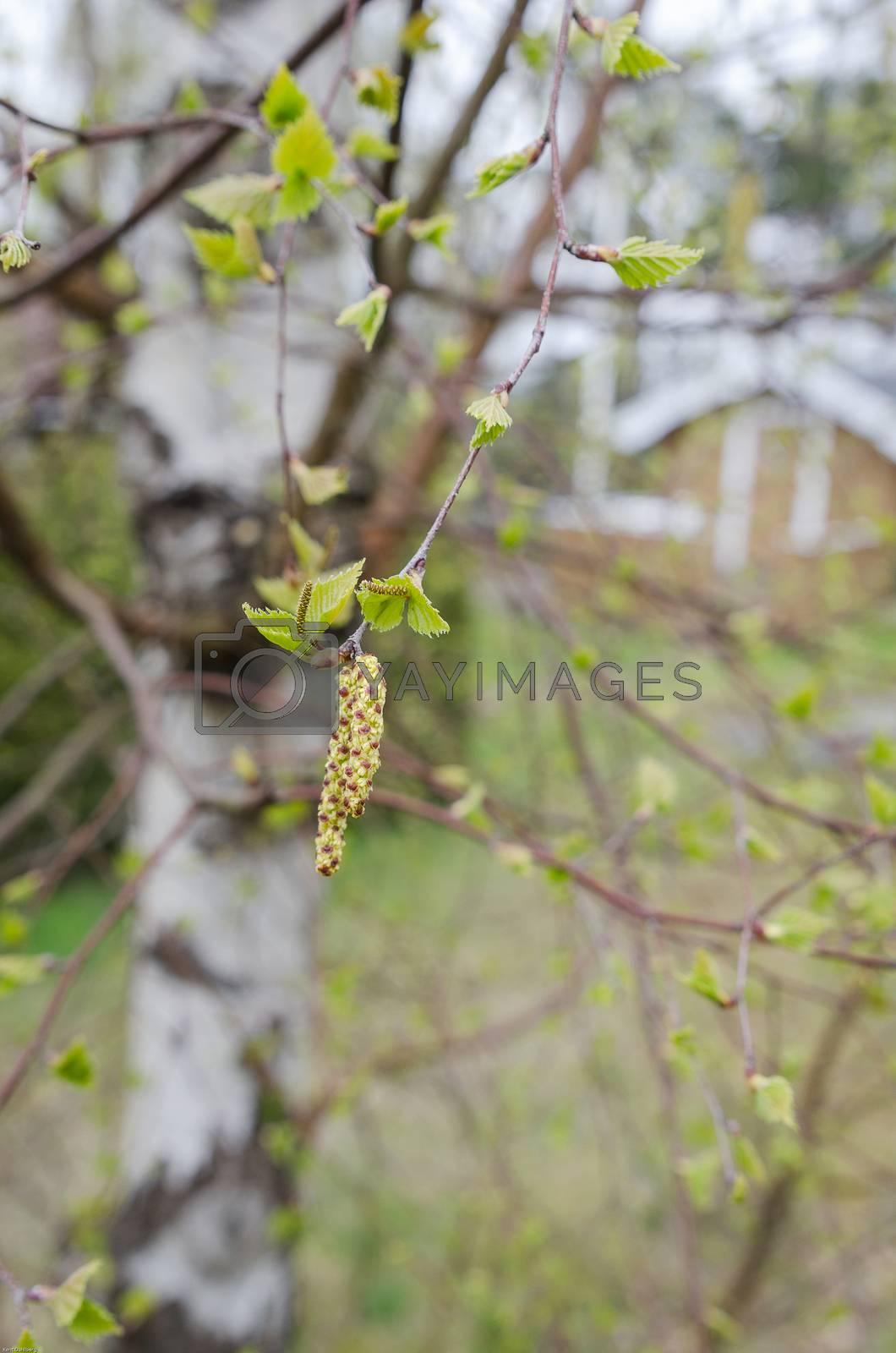 One birch full of pollen in spring bad for allergy