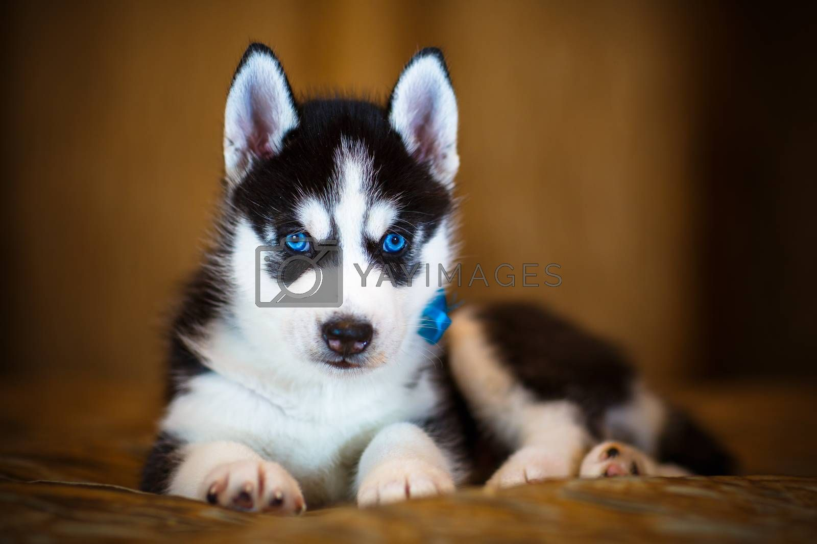 Siberian husky puppy with beautiful blue eyes
