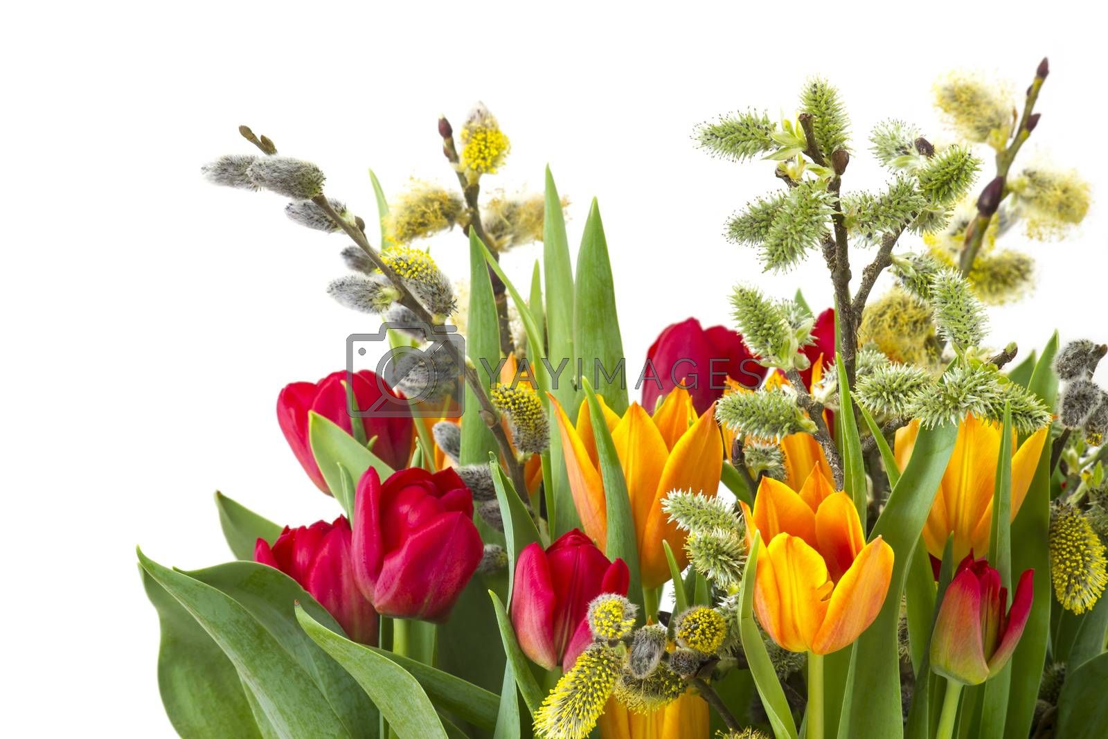 tulips and willow for easter on white background