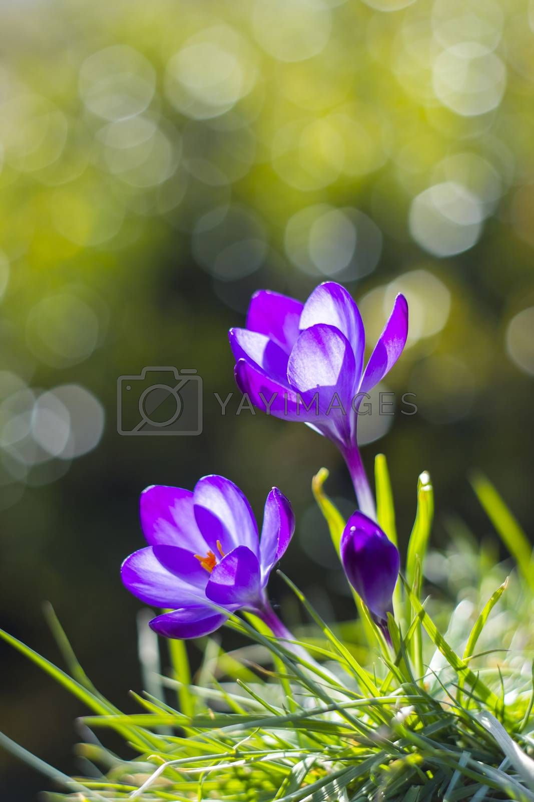 crocus - one of the first spring flowers by miradrozdowski