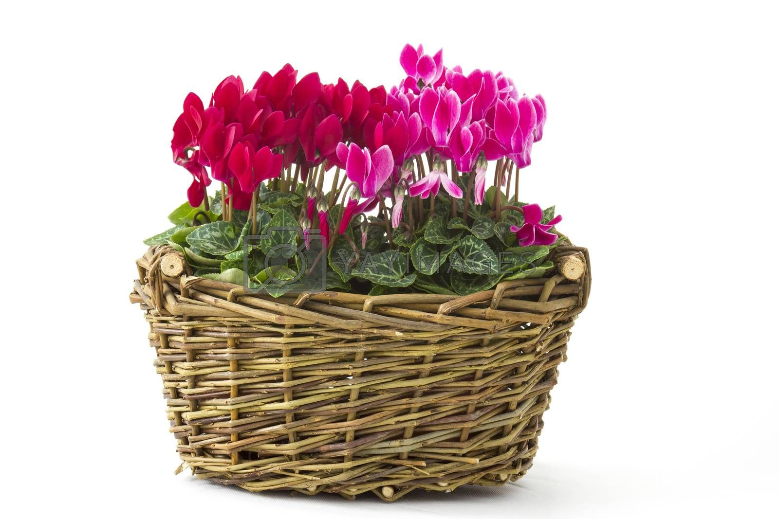 cyclamen persicum in a basket on white background