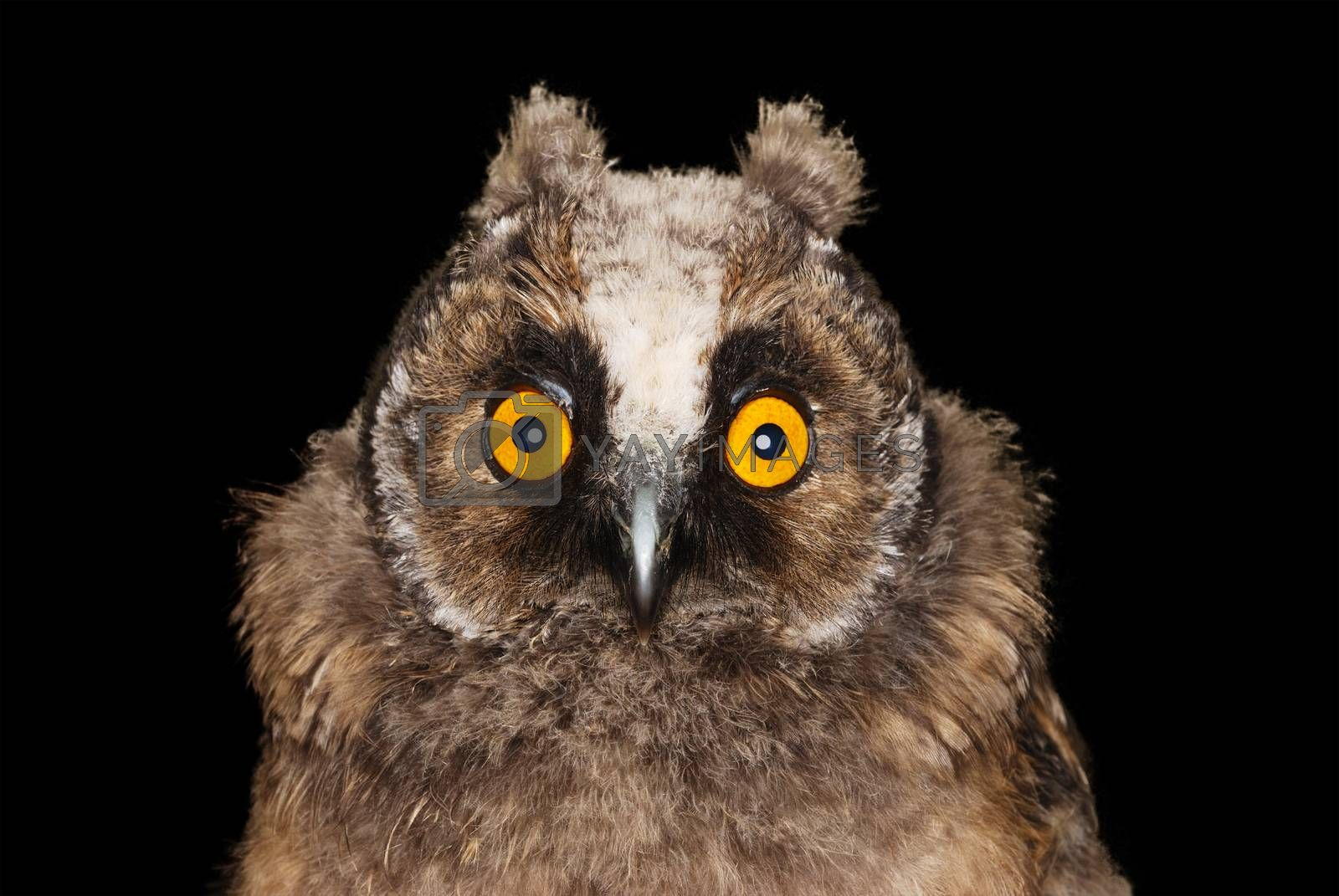 Young long eared owl with surprised look on her face isolated on black background.